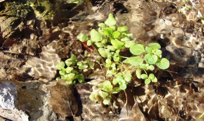 ماما چم چم گیاهی خوراکی ویژه آب چشمه